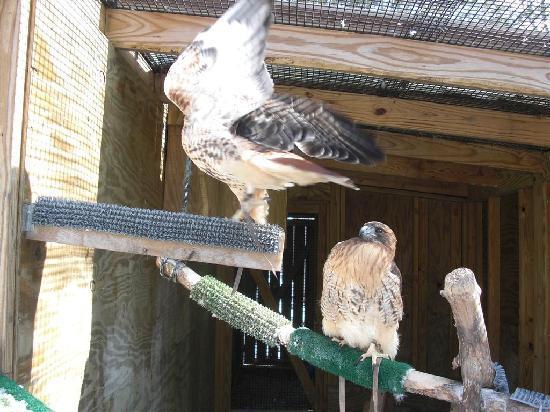 Leslie Science Center : hawks