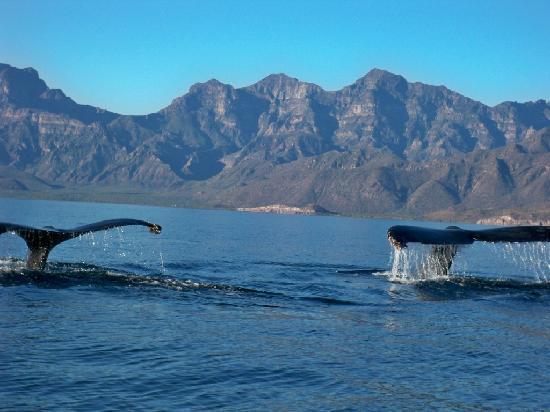 Las Cabanas de Loreto: Fin Whales Momma and Calf  Tails