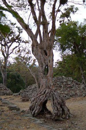 Copán-ruinene: one of the old trees