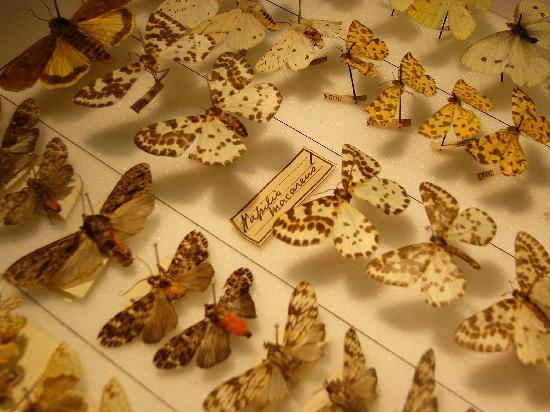 Exceptionnel Grant Museum Of Zoology: Butterflies