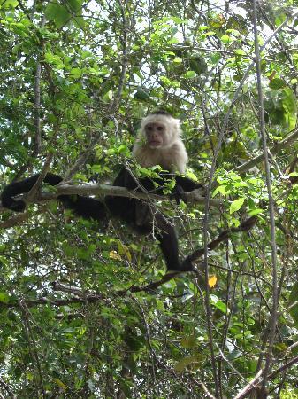Villa Del Sol: Excursion à Palo Verde - singe capucin