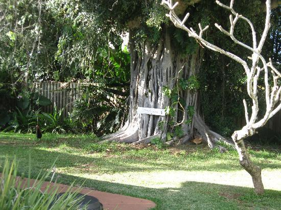 Banyan Bed and Breakfast Retreat: Banyan Tree