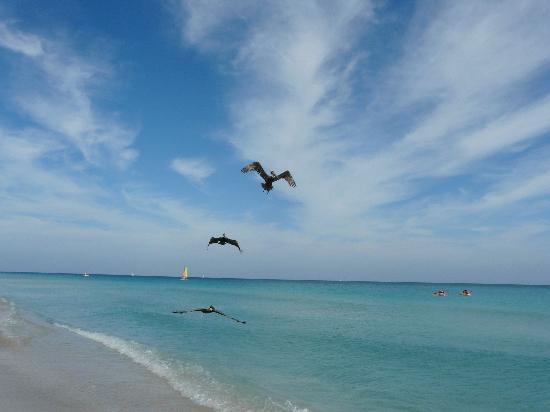 Hotel Roc Arenas Doradas: Los pelicanos de la playa Varadero