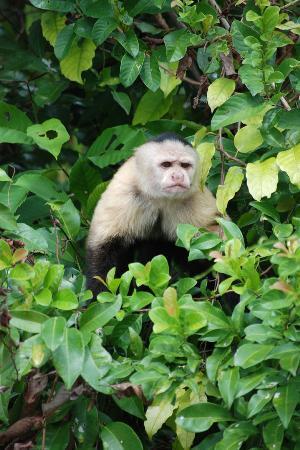 Sheraton Bijao Beach Resort : Feeding the monkeys in the rainforest