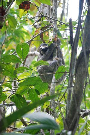 Sheraton Bijao Beach Resort : Sloth found in rainforest