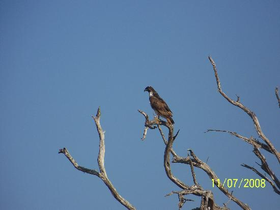 Tsavo National Park East, Kenya: Eagle looking for lunch