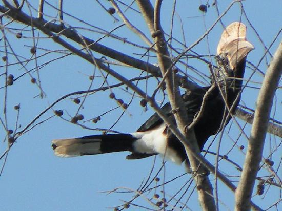 Pinewood Beach Resort & Spa: hornbill residents