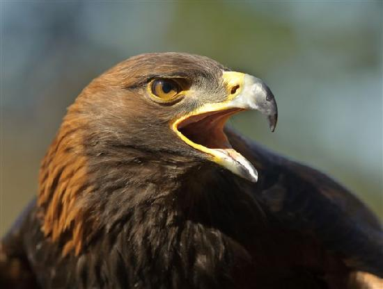 Duncan, Canada: Golden Eagle (Storm)