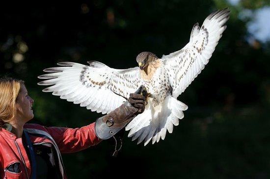 Duncan, Kanada: Ferruginous Hawk (Luccifera)