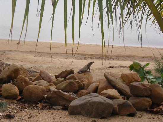 Lost Reef Resort: Lost Reef resident iguana catching some morning sun