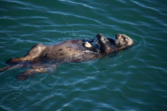 Monterey Bay: Sea Otter