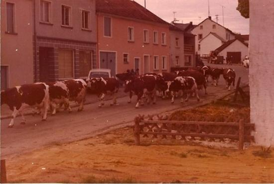 Spangdahlem, Deutschland: Looking out the window and watching cows go down the street 1973
