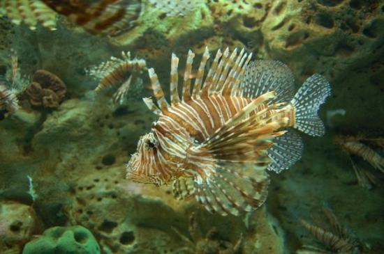 Atlanta, GA: Lion Fish