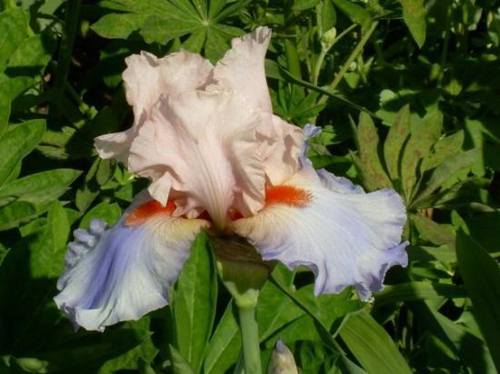 Schreiner's Iris Gardens Photo