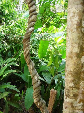Yacu Puma Center: Ayahuasca vine