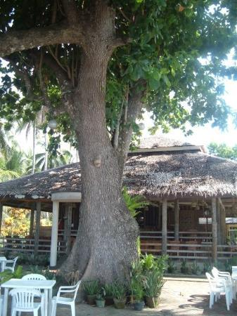 Mambajao, Filippinerna: Extremely large tree that covers the dining area of the resort that we stayed at.