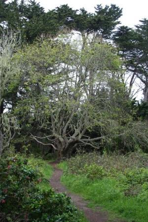 Pacifica, Californien: Surrounded by exquisit beauty....This tree just can't help but stand out! Beautifully....