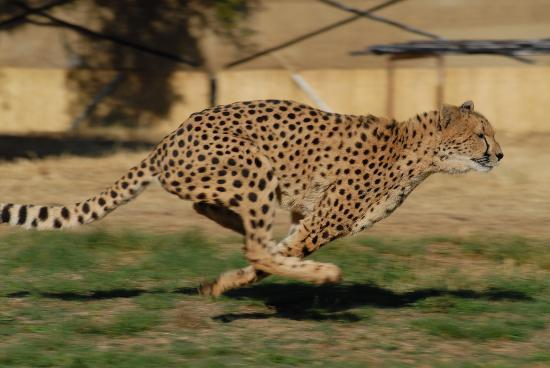 Cheetah Lodge: More Cheetah