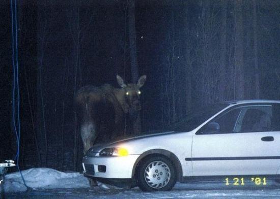North Pole, AK: Big moose in my driveway.