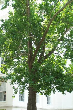 Montgomery, AL: Old Sycamore tree on Alabama Capitol grounds.