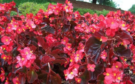Montgomery, AL : Begonias on Alabama Capitol grounds