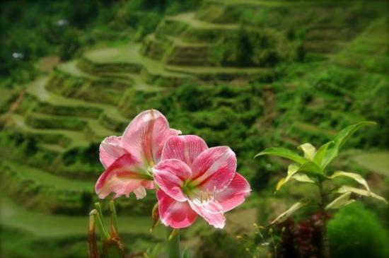 Banaue Risterrasser: Banaue Rice Terraces Benguet Province