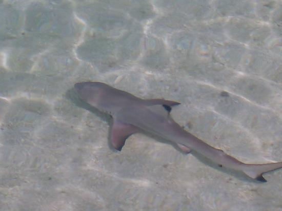 Baros Maldives: Black Tipped Reef Shark