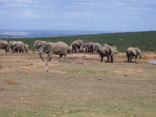 The Green Tree Guest Cottages: Addo Elephants