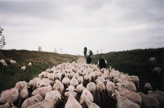 Route of Santiago de Compostela: Ovejas en los Pirineos