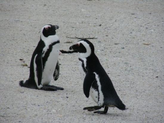 Boulders Beach: Penguins - mate for life.  Copyright Nov. 14, 2009 Karen R. Breitkreuz