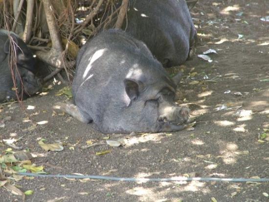 Curaçao: Warthog...is it Pumbaa?