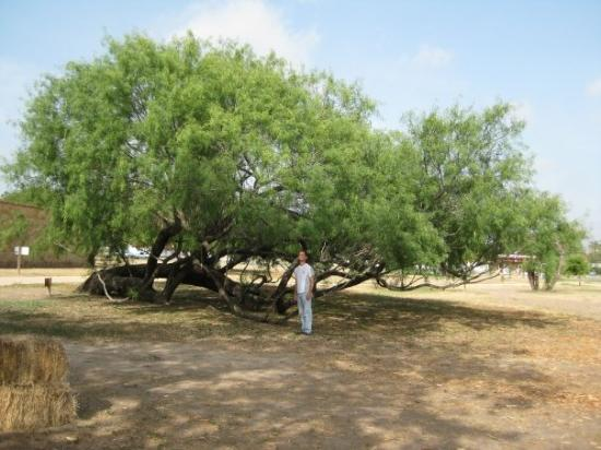 san antonio tx the mesquite tree great for bbq but not the state