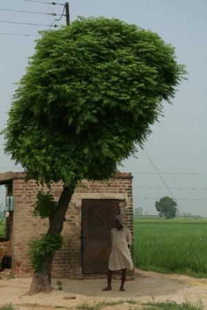 Jalandhar, อินเดีย: A farm worker in the Punjab.  India, August 2007.