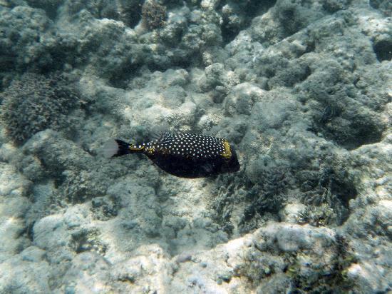 Ala Moana Beach Park: big blue puffer fish