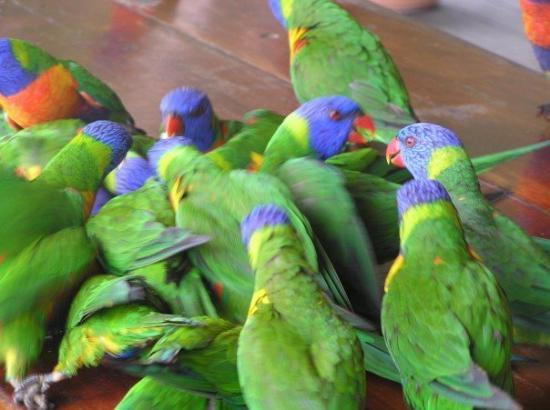 South Molle Island, Austrália: Parrots! - Lots of them, all after my breakfast!!!!