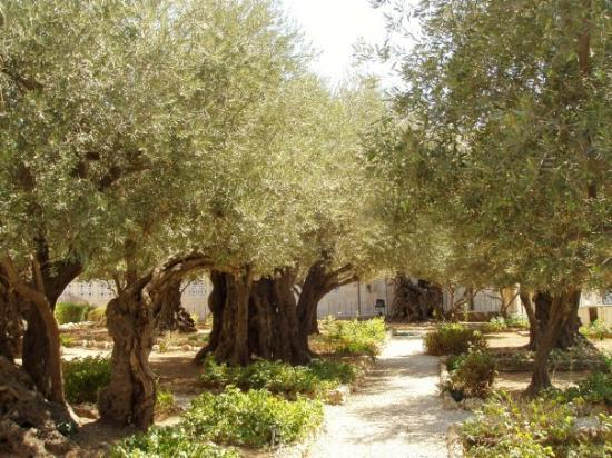 The Garden of Gethsemane in Jerusalem Picture of Garden of