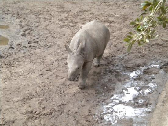 ZooTampa at Lowry Park: Baby Rhino