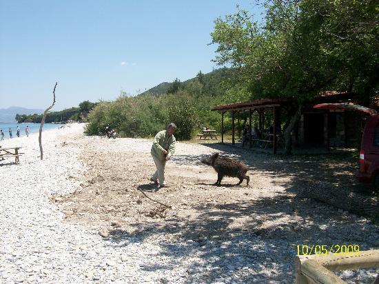 Guzelcamli, Turkey: Baby Boar