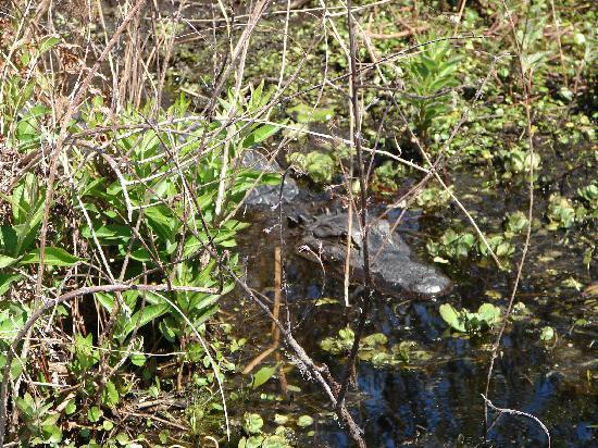 Captain Fred's Airboat Nature Tours: one gator of several