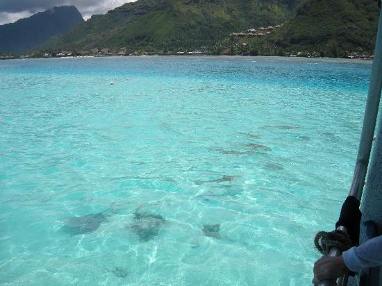 Manava Beach Resort & Spa - Moorea: Before we got in the water with the rays and sharks