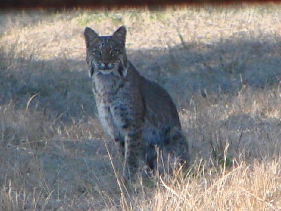 Tenoroc Fish Management Area: Bobcat