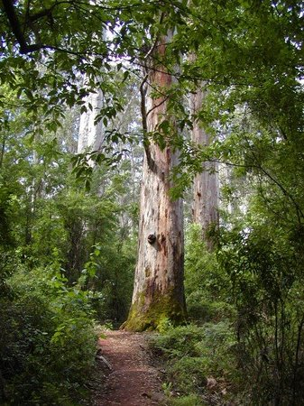 Pemberton, Australie : Kerri Trees, third largest in the world.