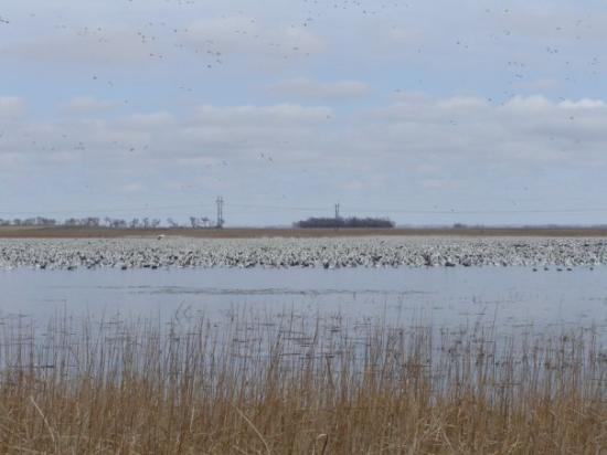 Aberdeen, SD: Snow goose hunt