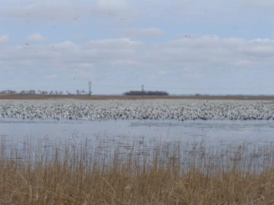 Aberdeen, Güney Dakota: Snow goose hunt
