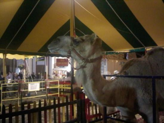 West Springfield, MA: camel
