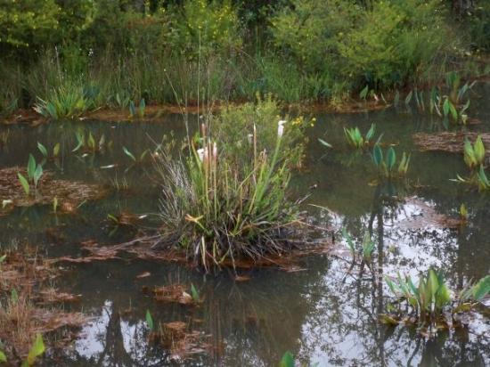 มิลตัน, ฟลอริด้า: There were a couple Pitcher plants left - though they bloom mostly in spring.  One of the few in