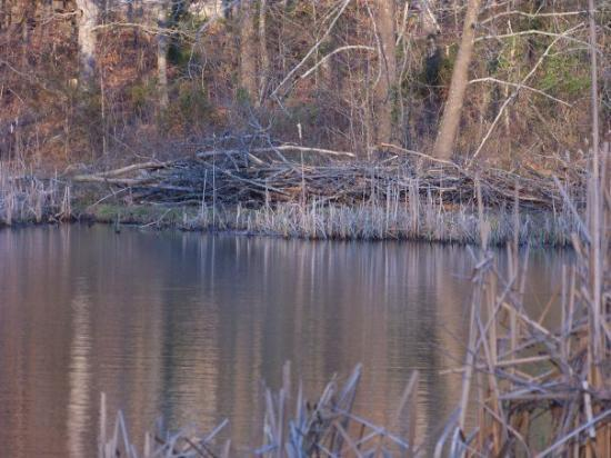 Horseshoe Bend, AR: Beavers live here.