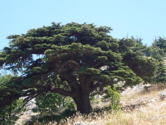 Beirut, Lebanon: Cedar of Mount Lebanon - Barouk