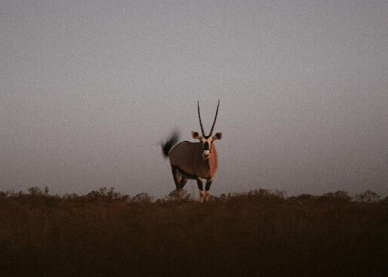 Gemsbok, not as common as you'd think.