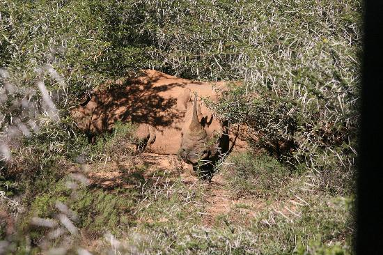 Black Rhino resting in the heat of the day, otherwise we'd not have ventured this close.